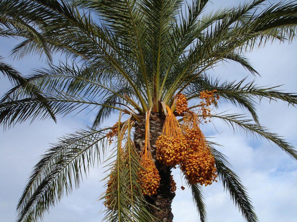 date palm, palm, dates-223250.jpg